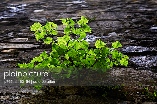 Junger Buchenbaum an Steinwand - p763m1160154 von co-o-peration