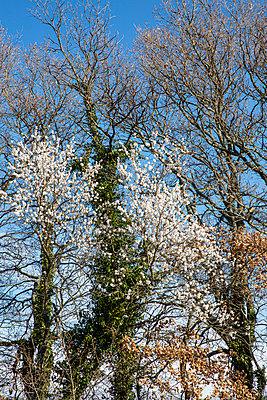Almond flower - p778m2288492 by Denis Dalmasso
