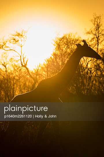 Giraffe against the light - p1640m2261120 by Holly & John