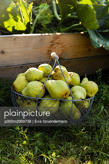 Harvested Williams pears in a wire basket - p300m2069738 by Eva Gruendemann