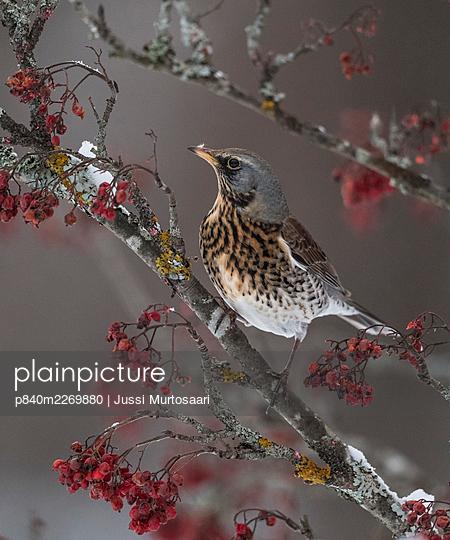 Fieldfare (Turdus pilaris) foraging for rowan berries in winter, Finland, December. - p840m2269880 by Jussi Murtosaari