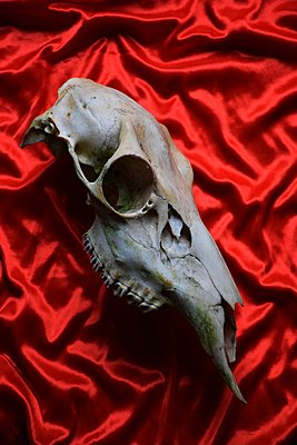Animal skull placed on red velvet - p1235m2287949 by Karoliina Norontaus