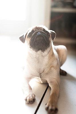 Pug dog - p1076m851651 by TOBSN