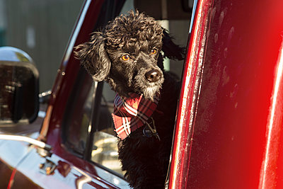 Dog looking out through pick-up truck window on sunny day - p1166m1141339 by chris fortuna