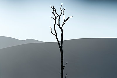 Single tree in Namibian desert - p1353m1203150 by Federico Naef