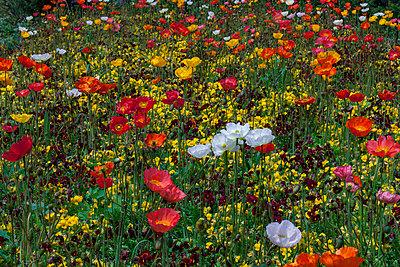 Flower field - p253m813547 by Oscar