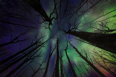Aurora Borealis Viewed Up Through The Trees; Whitehorse, Yukon, Canada - p442m1499769 by Robert Postma
