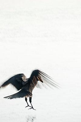 Krähe auf dem Eis - p739m1216925 von Baertels
