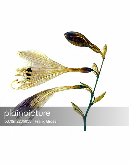 Still life of flower - p378m2235833 by Frank Gross