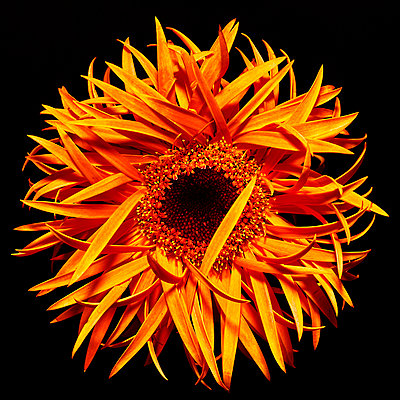 Orange coloured Gerbera - p587m2115442 by Spitta + Hellwig