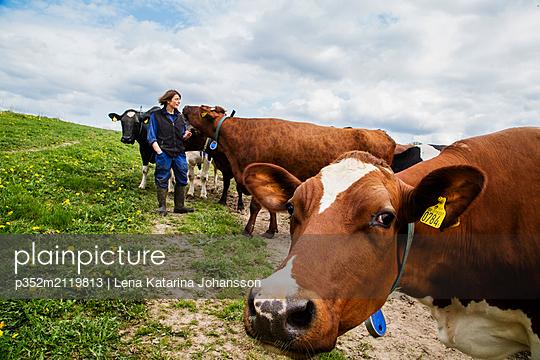 Farmer with cows in field - p352m2119813 by Lena Katarina Johansson