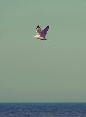 Seagull in flight - p1681m2283682 by Juan Alfonso Solis
