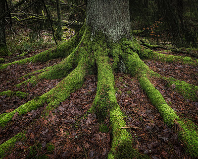 Moss on tree roots - p312m1533038 by Mikael Svensson