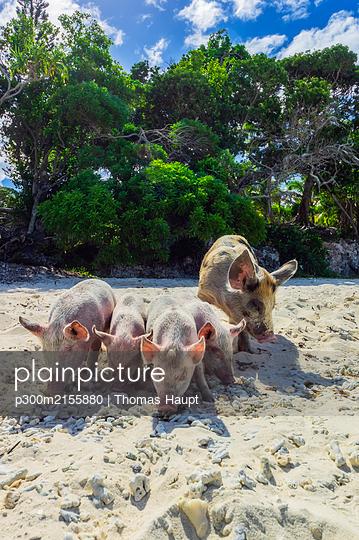 New Caledonia, Lifou, pigs at the beach - p300m2155880 by Thomas Haupt