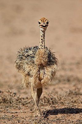 Common ostrich  chick, Kgalagadi Transfrontier Park, encompassing the former Kalahari Gemsbok National Park, South Africa, Africa - p871m1056784f by James Hager