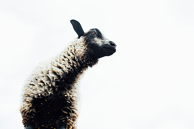 Low angle view of sheep standing against clear sky - p1166m2024843 by Cavan Images