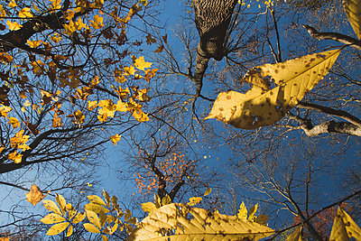 Yellow Leaves Falling - p1262m1087737 by Maryanne Gobble