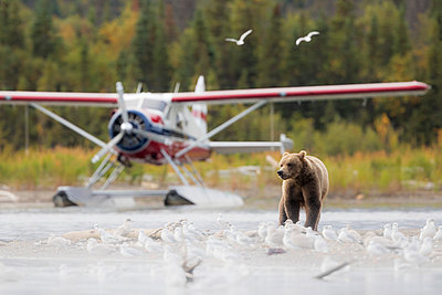 Brown bear (Ursus arctos alascensis), Brooks Lake, Katmai National Park and Preserve,  alaska peninsula, Alaska, USA - p651m2032596 by Marco Gaiotti