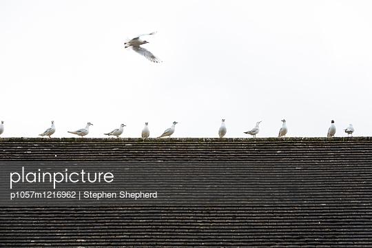 Möwen auf einem Dach - p1057m1216962 von Stephen Shepherd