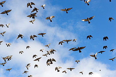 Flock of birds - p4010441 by Frank Baquet
