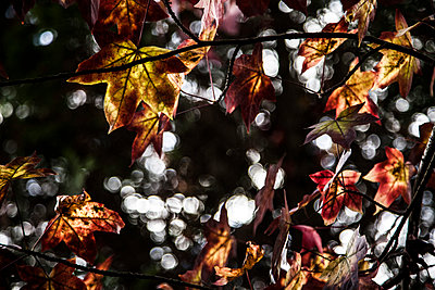 Autumn Leaves on Tree Branches with Dappled Light - p694m1221874 by Julio Calvo