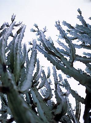 Kaktus - p885m1087417 von Oliver Brenneisen