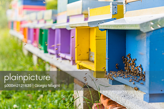 Colorful beehives and honeybees - p300m2121635 by Giorgio Magini