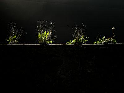 Löwenzahn bei Nacht - p1021m2128989 von John-Patrick Morarescu