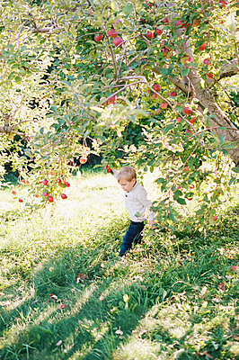 little boy playing under an apple tree full of red and ripe apples. - p1166m2171972 by Cavan Images