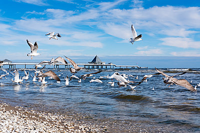 Germany, Usedom, Heringsdorf, seagulls at pier - p300m1205028 by Martin Siepmann