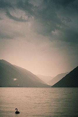 Einzelner Schwan auf dem Rotoiti See - p1255m1574974 von Kati Kalkamo