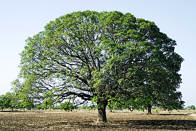 Mango tree, Beed, Maharashtra, India - p1403m1547371 by Dinodia