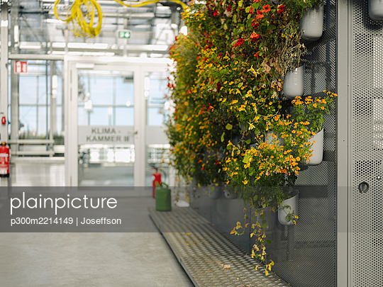 Flowers growing on metallic wall in greenhouse - p300m2214149 by Joseffson