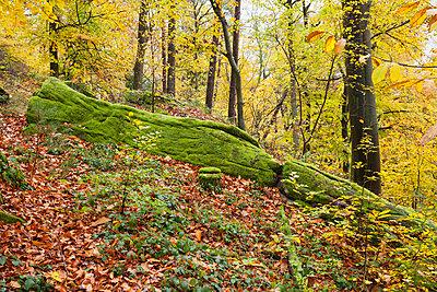 Germany, Rhineland-Palatinate, Palatinate Forest Nature Park in autumn, mossy rock - p300m2042051 von Gaby Wojciech
