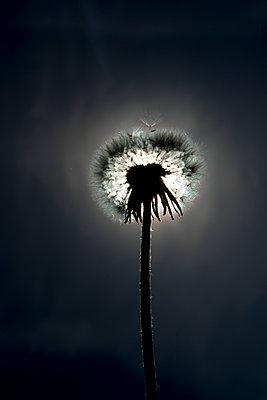 Pusteblume im Gegenlicht  - p451m1563908 von Anja Weber-Decker