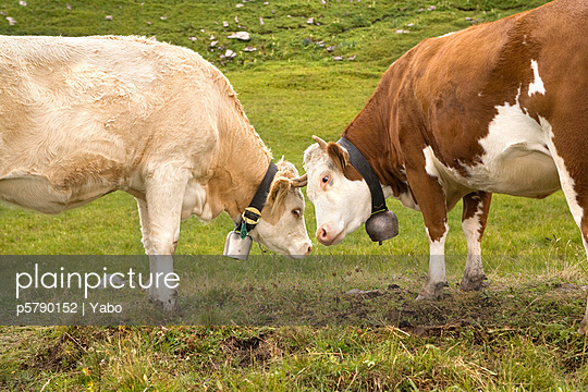 Two cows getting closer - p5790152 by Yabo