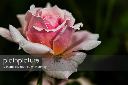 p442m1147889 von F. M. Kearney