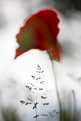 Blurred poppy - p1682m2260750 by Régine Heintz