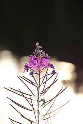 Nahaufnahme einer pinkfarbenen Blüte vor einem Waldsee - p235m2132763 von KuS