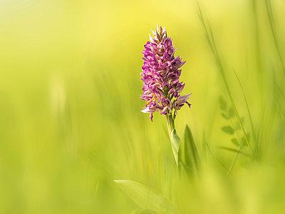 Orchid - p300m2004412 von Brigitte Stehle