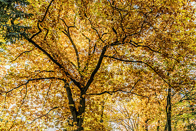 Tree with autumn leaves - p401m2217511 by Frank Baquet
