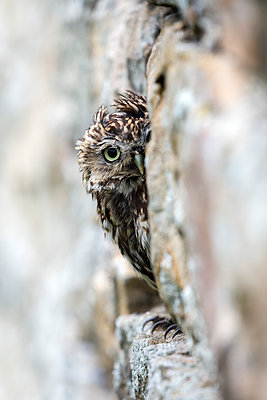 Little owl  perched in stone barn, captive, United Kingdom, Europe - p871m1107302 by Ann & Steve Toon