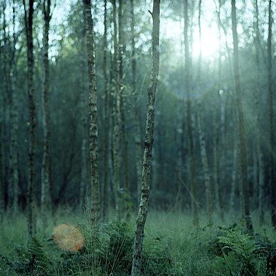Birkenwald - p989m918161 von Gine Seitz