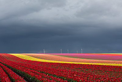 Germany, Magdeburg Boerde, tulip fields and wind wheels in front of stormy sky - p300m1023383f by Anke Scheibe