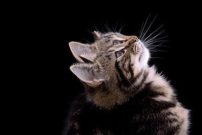Double portrait of tabby kitten, Felis silvestris catus, in front of black background - p300m950515f by Mark Johnson