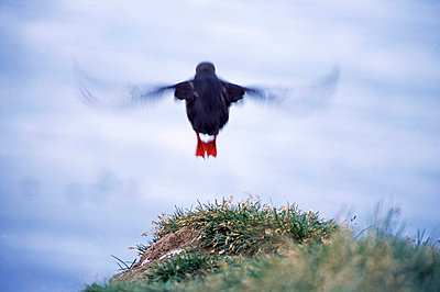 Puffin flying in the sky (Fratercula arctica), Iceland - p3483792 by Hakon Agustsson