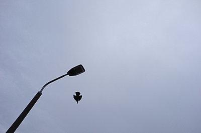Potsdam, eine Kraehe startet von einer Strassenlampe in das blaugrau des Brandenburger Winterhimmels - p627m1035263 von Hendrik Rauch