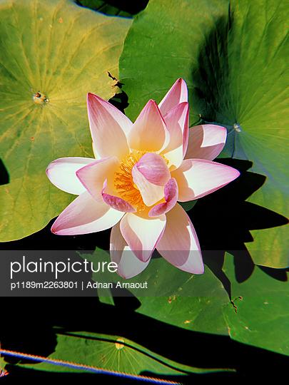 Lotus flower - p1189m2263801 by Adnan Arnaout