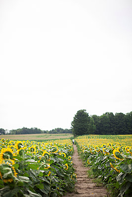 Trail amidst sunflowers growing at farm against clear sky - p1166m2025086 by Cavan Images
