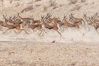 Eine Herde laufender Springböcke, Kalahari, Südafrika - p1065m982677 von KNSY Bande